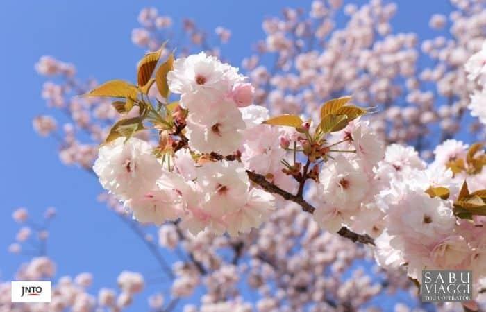 m_181963 Shinjuku Gyoen National Garden Ciliegi